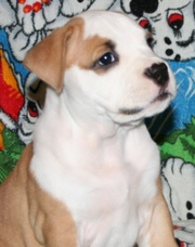 Елітні щенята Американського Тер'єра Стаффордширського.