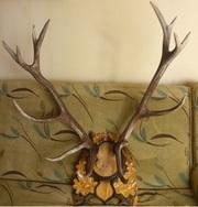 Продам ВЕЛИКУ колекцію мисливських трофеїв: оленя,  косулі,  лося