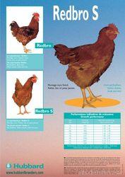 Продам суточные и подрощенные цыплята Redbro,  Master