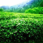 Контейнерные поставки чая