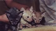 Корниш-Рекс котята.